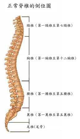 荐椎及尾椎 -台湾脊椎中心 脊椎 脊椎侧弯 脊柱 脊柱侧弯 腰椎间盘突出
